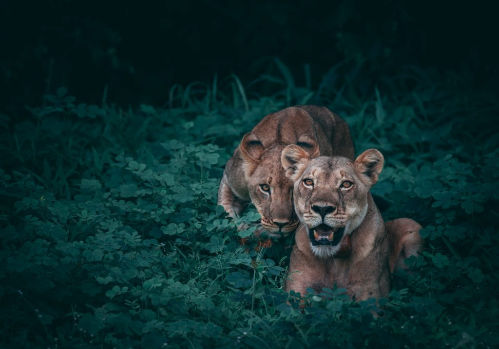 photo of two lions in the wild, ideal image contrast