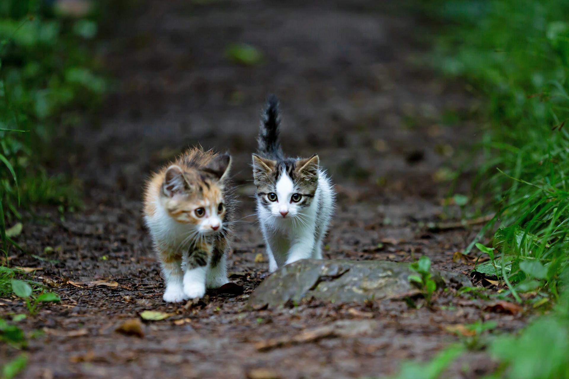 two kittens walking side by side on dirt path