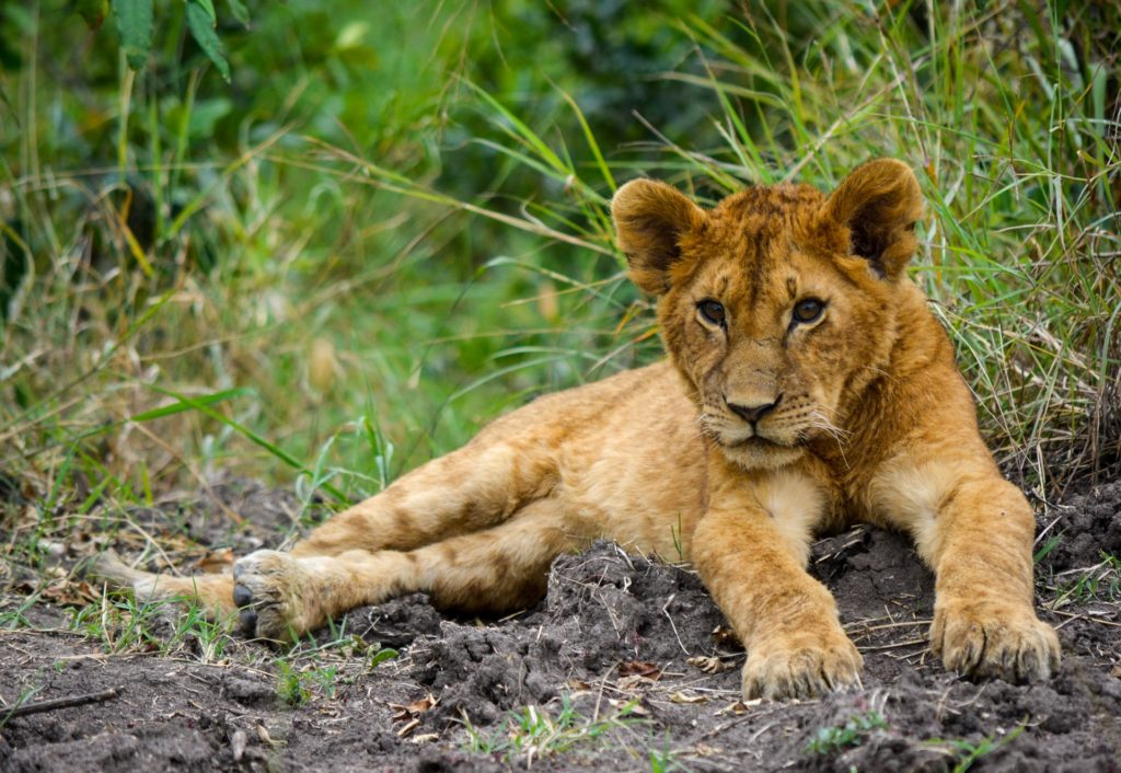 lion cub lying on grassy ground, shot with the rule of thirds