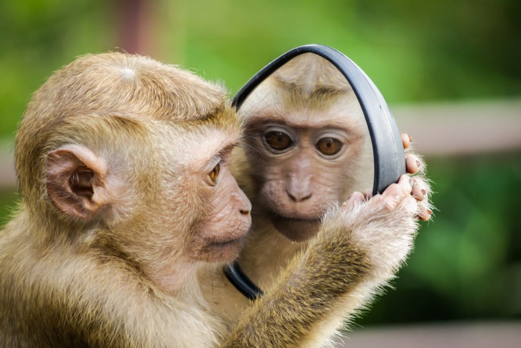 wildlife photography, small monkey looks at reflection in a mirror